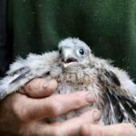 Kestrel chick