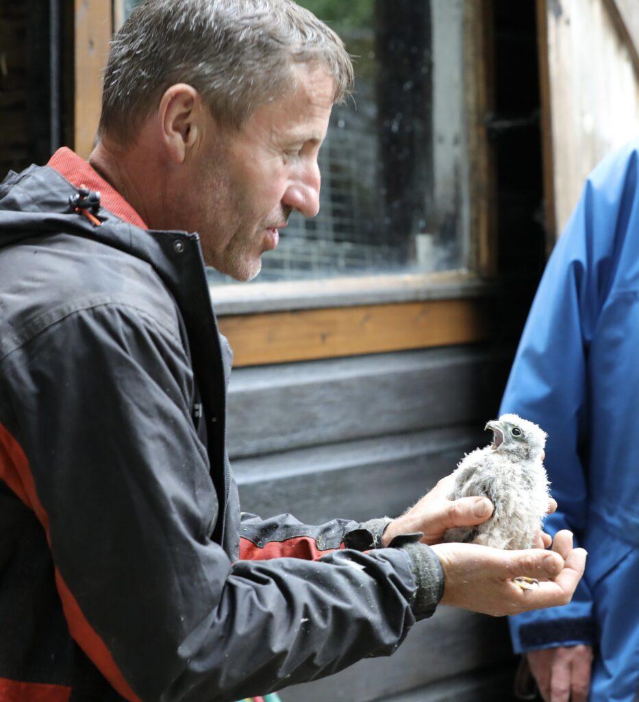Jeremy with kestrel chick